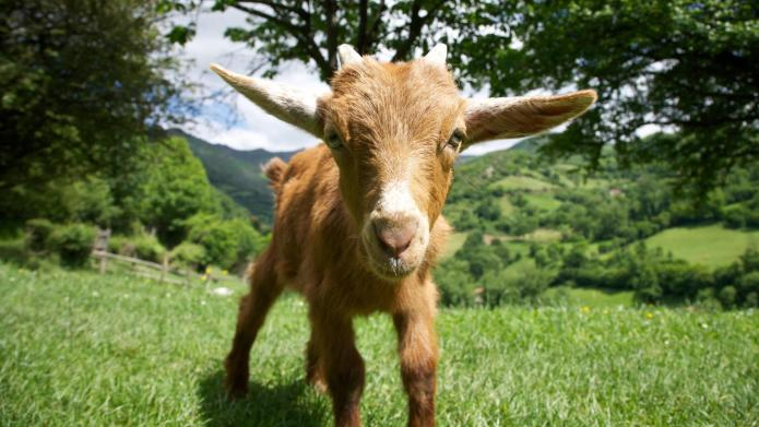 This goat is having a better