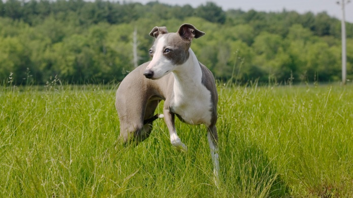 Meet the breed: Italian Greyhound