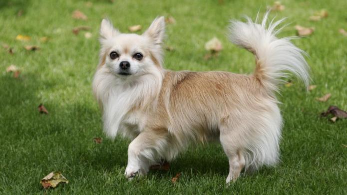Meet the breed: Chihuahua