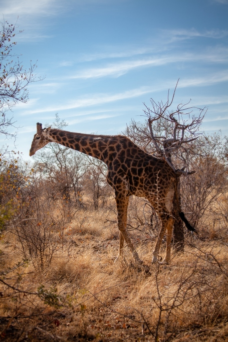 Wild giraffe in Madikwe, South Africa