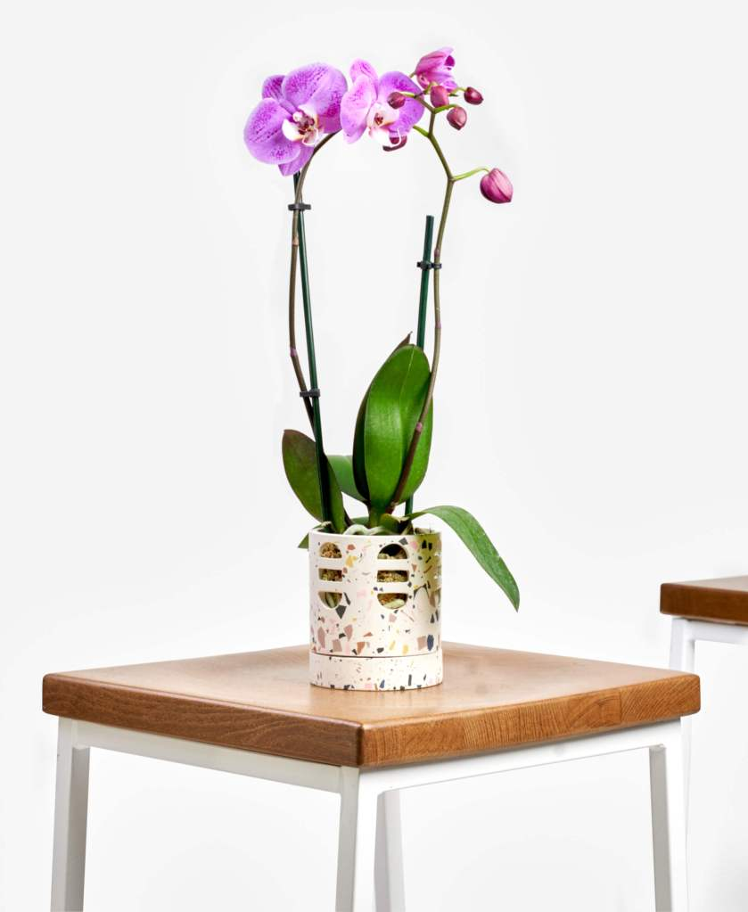 Bloomscape orchid