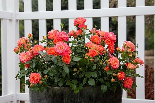 Easy Gardening Tutorials: DIY Rose Container Garden