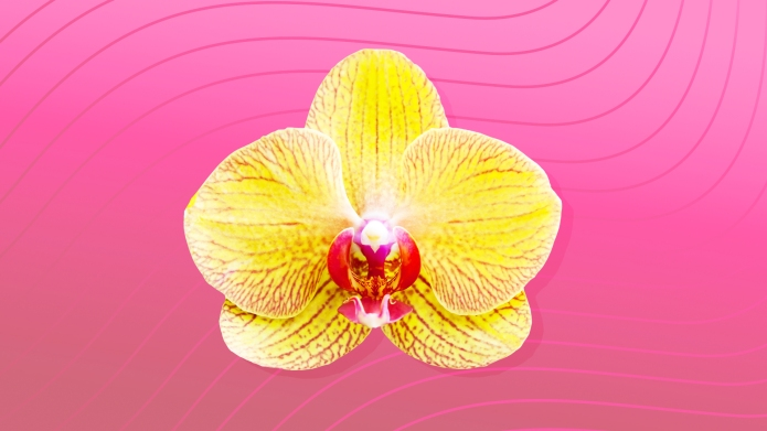 Illustration of yellow flower on pink