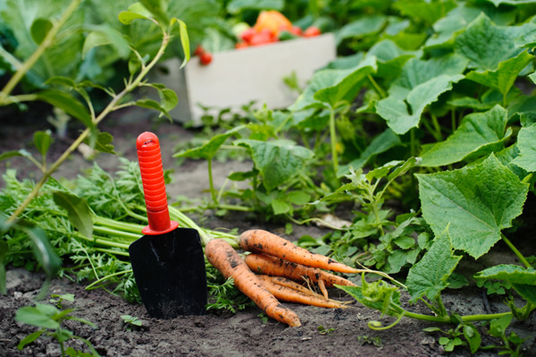 Fall garden with carrots
