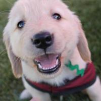 Arizona Goldens LLC service dog