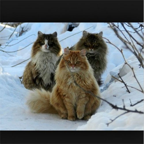 We are Norwegian snow cats if you ple-ease.
