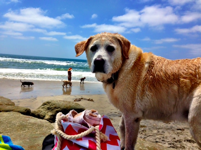 Roxy -- Janell Thompson's Labrador