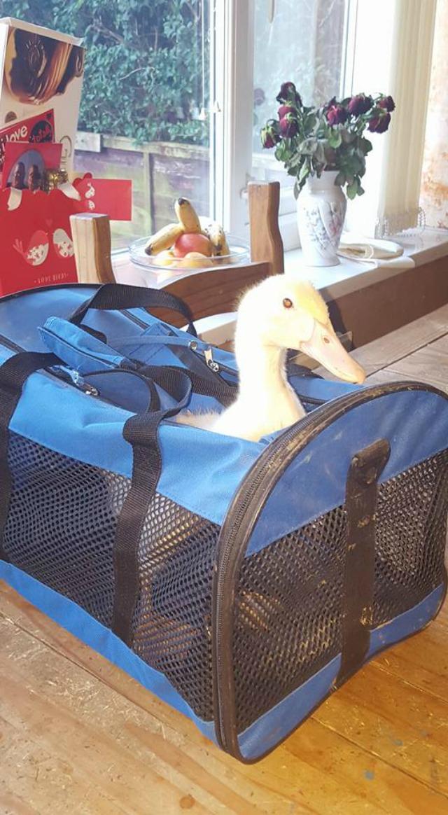 Clover the Duck