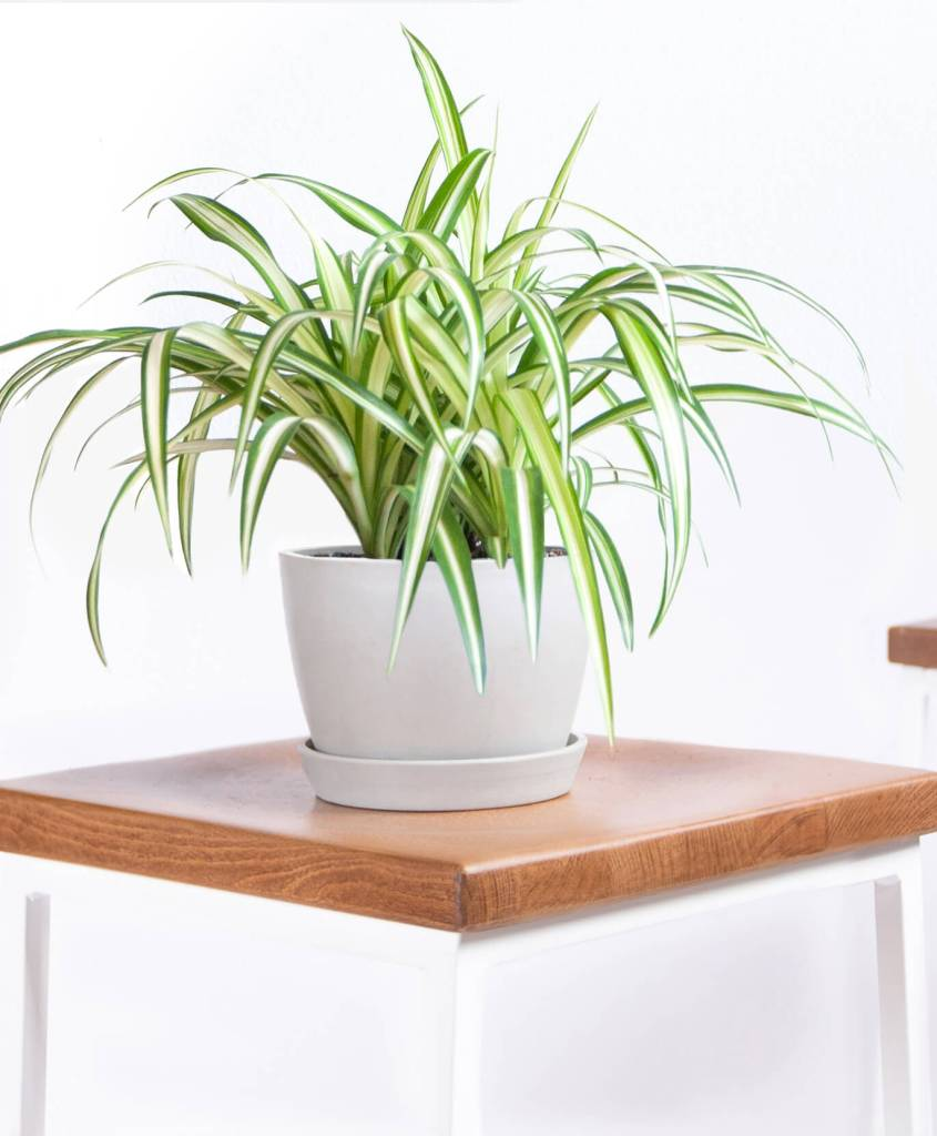Bloomscape spider plant pet and kid safe indoor plant