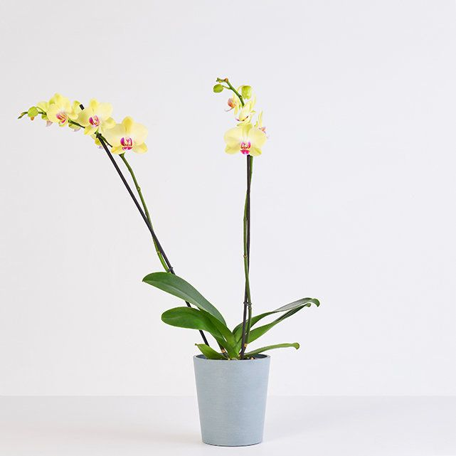 Bouqs lady luck orchid kid and pet safe indoor plants