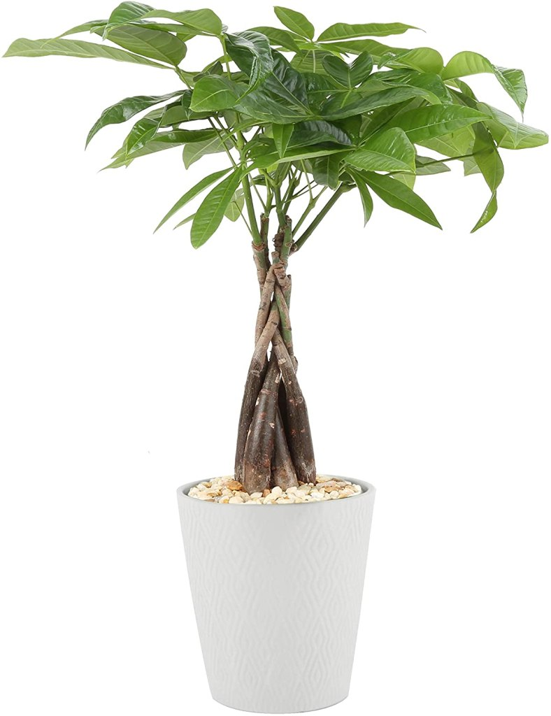 Costa Farms money tree kid and pet safe indoor plants