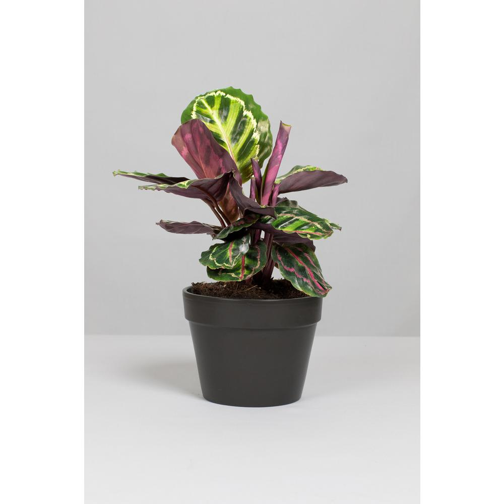 Lively Root Calathea kid and pet safe indoor plants