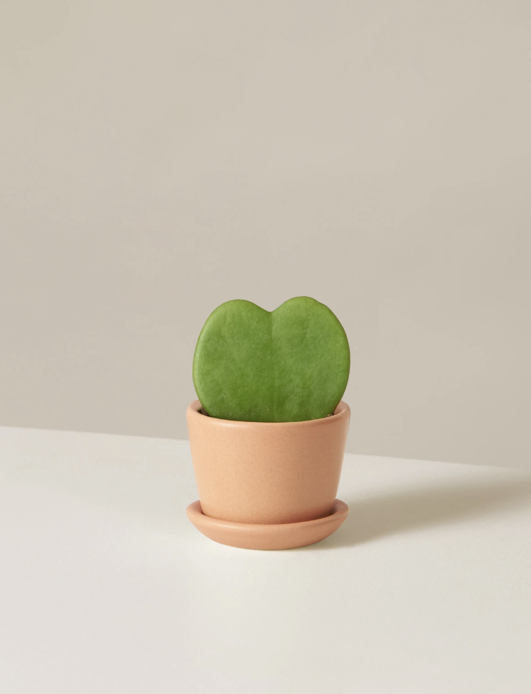 The Sill Hoya Heart kid and pet safe indoor plants