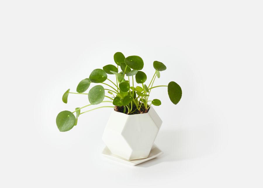 Urban Stems Monet pet and kid safe indoor plants