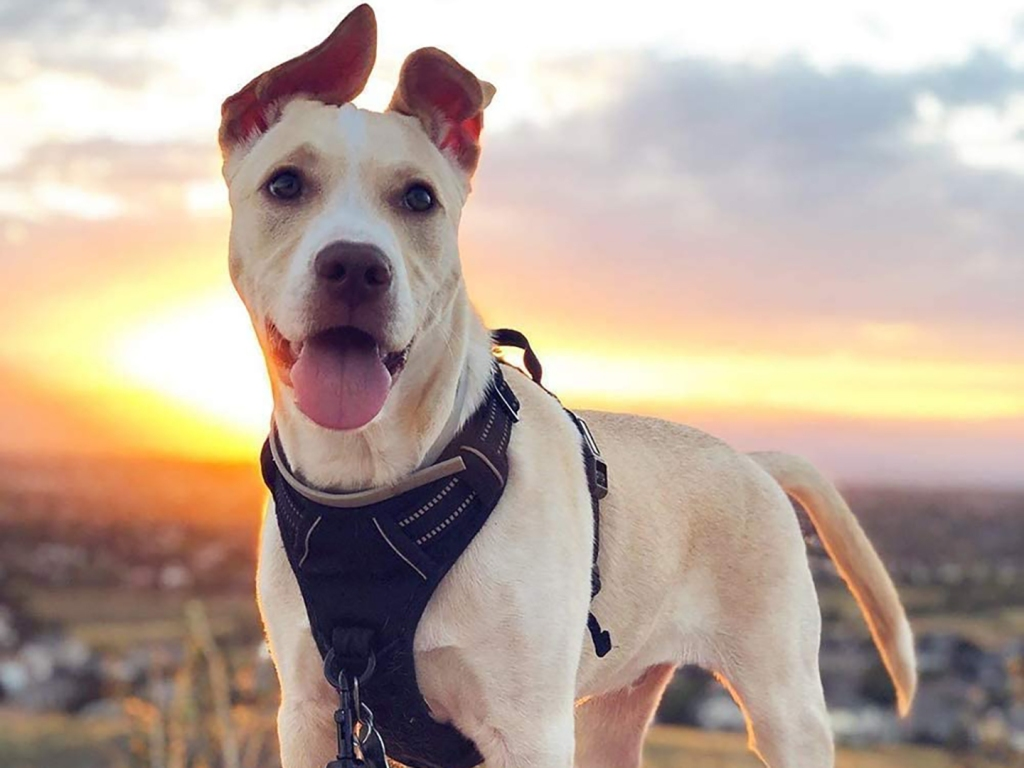Comfortable Dog Harnesses for Your Furry Friend